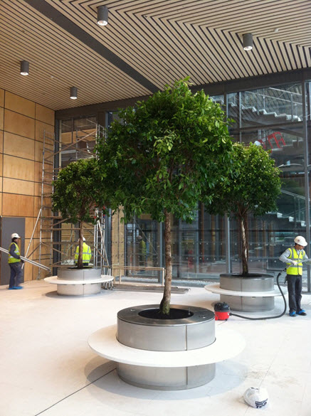 large-ficus-trees